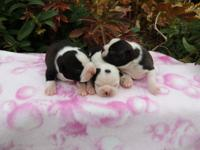 Precious AKC Boston Terrier Puppies. Three boys. They
