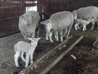 For sale. Newborn lambs with their moms. $600.00 cash