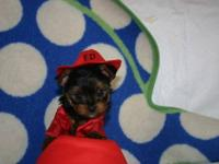 I have two female Yorkies that will be ready November