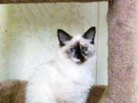 RareNewBreed LegendLynx; Birman Hyb Kittens; Seal