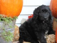 Here is a cutie!! She is a Newfie-Poo!! Her mommy is a