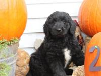 Good blocky black male Newfie -Poo Puppy!! He was born