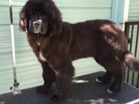 Newfoundland Female 5 months old. Imported from Romania