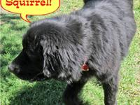 Newfoundland Dog - Luna - Extra Large - Adult - Female