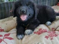 Newfoundland/ Great Pyrenees Mix puppies... These guys
