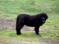 Gizmo is a fun loving male Newfoundland.. Loves the