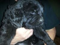 Awesome purebred Newfoundland puppies. If your looking