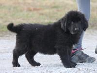 We have a nice litter of newfies for you to choose from