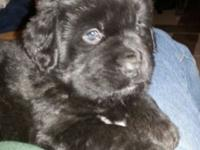 We have a fantastic female Newfoundland puppy available