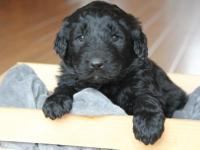 Tan collar is a black AKC Newfoundland puppy!! (full