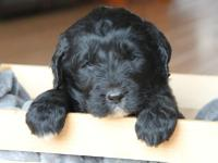 Blue is a black AKC Newfoundland puppy!! (Limited