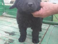 Newfoundland puppies ready for their new homes! Both