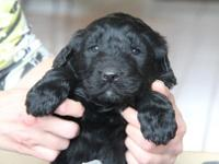 Tan collar is a black AKC Newfoundland puppy!! (Limited
