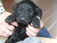 Red collar is a black AKC Newfoundland puppy!! (Limited