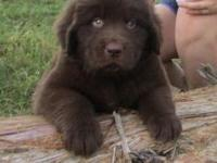 Tank is a handsome brown newfoundland puppy with a