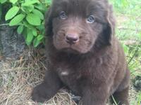 Bella is a beautiful brown newfoundland puppy with a