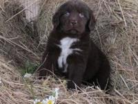 Daisy is a beautiful brown newfoundland puppy with a
