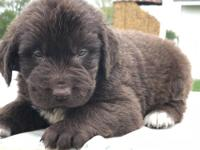 Tip is a beautiful chocolate mail Newfoundland he comes