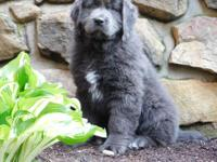 Hello meet Abby a gray Newfoundland puppy up for