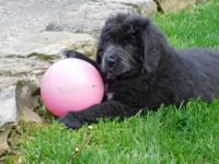 Hello meet Maggie a gray Newfoundland puppy up for