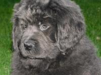 Hello meet Eve a gray Newfoundland puppy up for