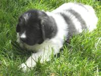 Newfoundland pups, AKC, 6 wks, These pups come with