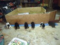 Newfoundland puppies, blacks or landseers. Born May