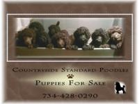 We have litters of Newfoundland/Standard Parti Poodles