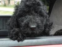 We have one cute Newfypoo puppy. She is a good size