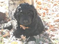 Newfypoo puppy, black male, last one! So huge-- at 8