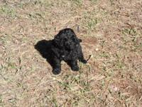 Newfy Poo Puppies--Born 10-02-14. Dam is AKC