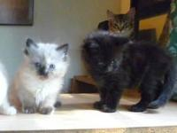Uncommon New Breed Legend Lynx; Maine Coon/Birman Hybs;