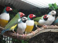 I have numerous Gouldian Finches for sale. I have 1