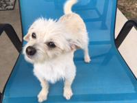 """Newton--male/neutered--cairn terrier/chi mix--1-2 yrs"