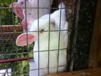 Many different sizes of NewZealand white rabbits for