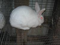 New Zealand White rabbits 12 weeks old to breeding