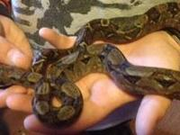 Male and Female Boa for sale. $200 for both of them.