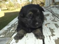 MK0304 Male...He is a Black & Tan in color and