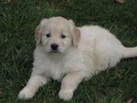 NICE !!! akc golden retriever young puppies, 6 males