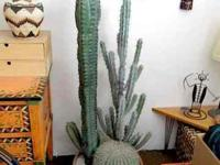 This cactus is very attractive, and needs no upkeep.