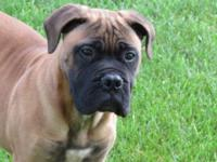 Hello i have a very intelligent Bull Mastiff puppy, he