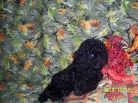 This little ckc registered Toy male poodle is very
