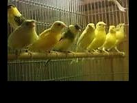 I have for sale 1 curio male banded sing nice and loud