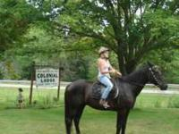 20 year old Standardbred gelding. Super quiet trail