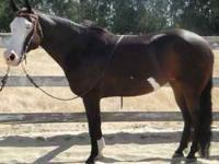 6yr old APHA mare Bay overo with two blue eyes. Approx