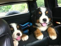 Bernese Mountain Dog Puppies these lovely puppies ,boys
