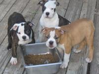 Very nice quality Olde English Bulldogge pups. Both