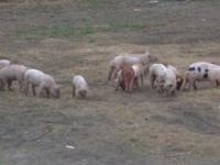 I have some nice little pigs for sale very healthy. And