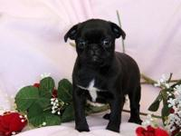 adorable 8weeks old black pug puppy ready for new