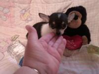 I have one little black with white female Chihuahua.